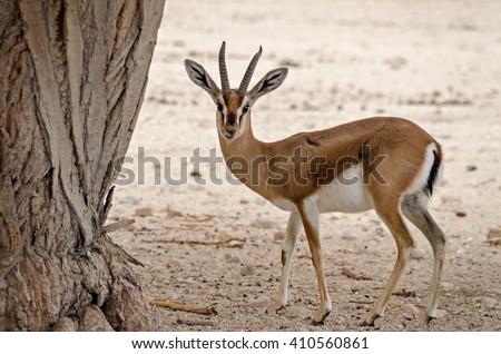 Dorcas gazelle in desert of the Negev near Eilat - stock photo