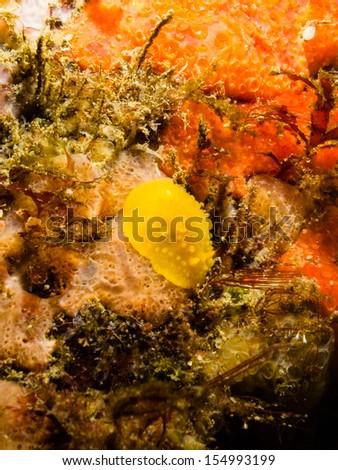 Doriopsilla pelseneeri - stock photo