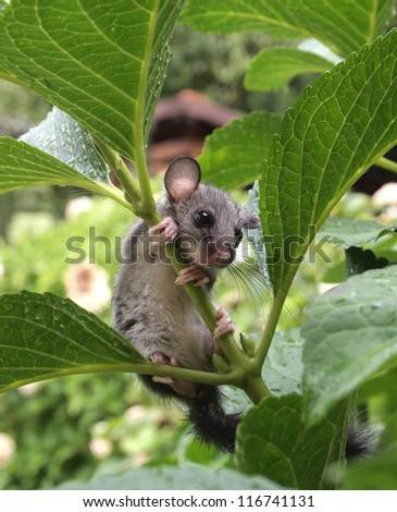 Dormouse  - stock photo