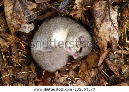 Dormouse sleeping - stock photo