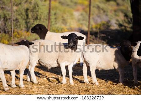 Dorper Sheep Rams on a dorper sheep stud farm in the Tankwa karoo in South Africa - stock photo