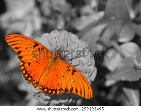 Dorsal view of a Gulf Fritillary butterfly feeding on a Zinnia; color spot on black and white - stock photo