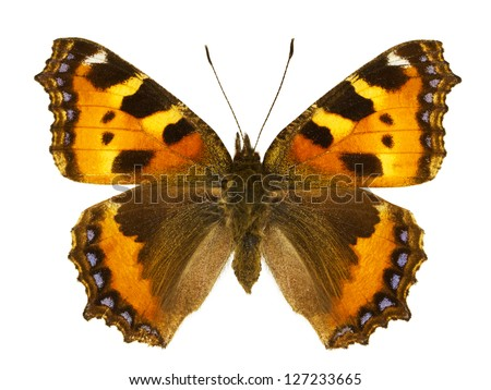 Dorsal view of Aglais urticae (Small Tortoiseshell) butterfly isolated on white background. - stock photo