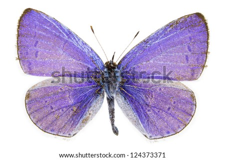 Dorsal view of Celastrina argiolus (Holly Blue) butterfly isolated on white background. - stock photo