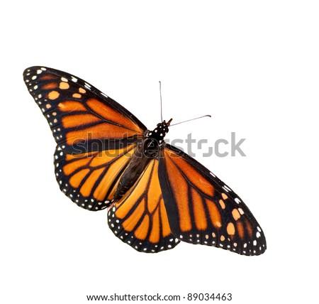 Dorsal view of Danaus plexippus, Monarch butterfly, isolated - stock photo