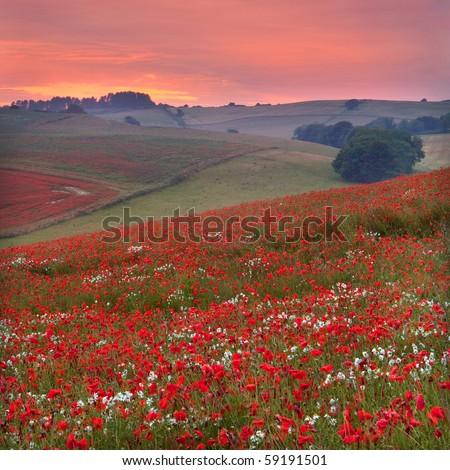 Dorset poppy field sunset, UK - stock photo