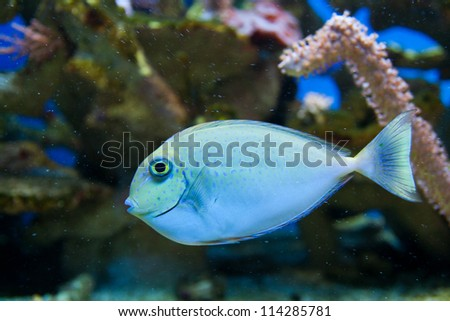 Dotted blue and yellow aquarium fish