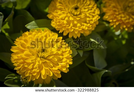Double Calendula in Toowoomba Carnival of Flowers, Queensland, Australia. - stock photo