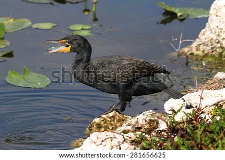Double-crested Cormorant (Phalacrocorax auritus) in the Florida Everglades - stock photo