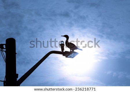 Double Crested Cormorant rests on light pole