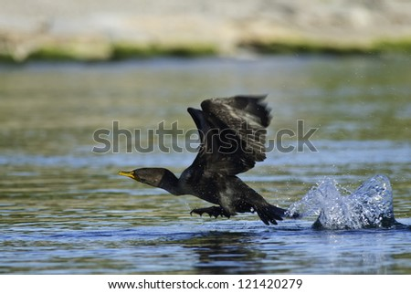 Double-crested Cormorant running across the water about to take off. - stock photo