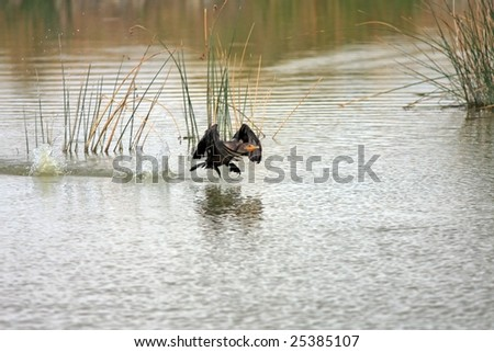 Double-crested Cormorant taking off from lake - stock photo