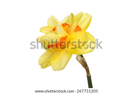 Double daffodil flower isolated against white - stock photo
