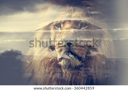 Double exposure of lion and Mount Kilimanjaro savanna landscape. Vintage - stock photo