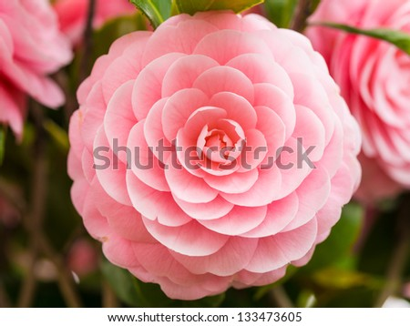 double-flowered camellia - stock photo