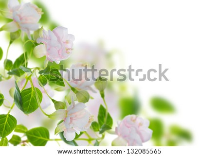 double fuchsia  name Frank Unswort, a background - stock photo