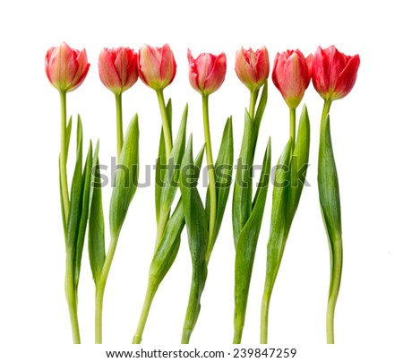 Double red tulips with leaves isolated on white background. - stock photo