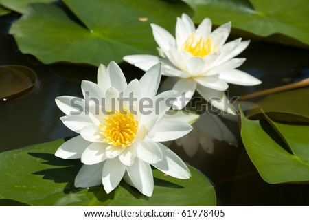 Double white lilly water in the lake - stock photo