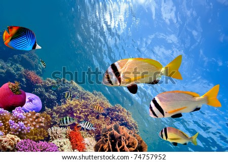 Doublebar bream (acanthopagrus bifasciatus) - stock photo