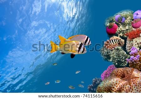 Doublebar bream (acanthopagrus bifasciatus) , Red Sea, Egypt - stock photo