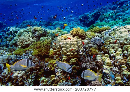 Doublebar bream and coral reef. - stock photo
