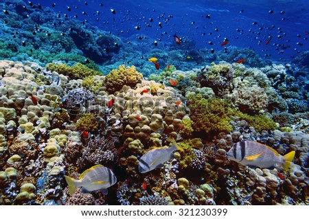 Doublebar bream and coral reef. Red Sea, Egypt - stock photo