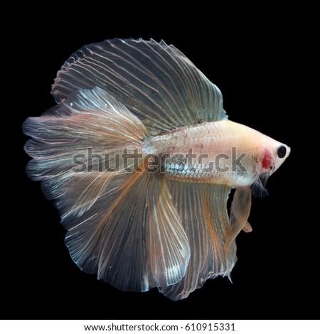 Fish tail fish beautiful - photo#24