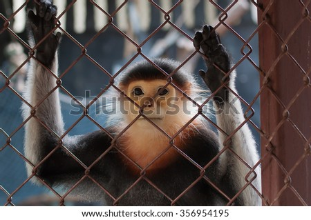 Douc Langur in the zoo