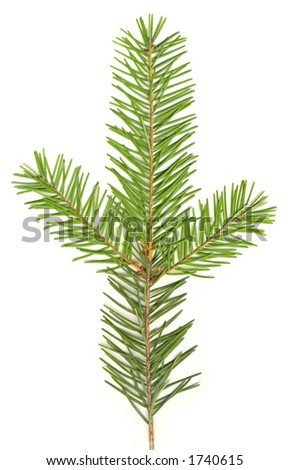 Douglas Fir isolated