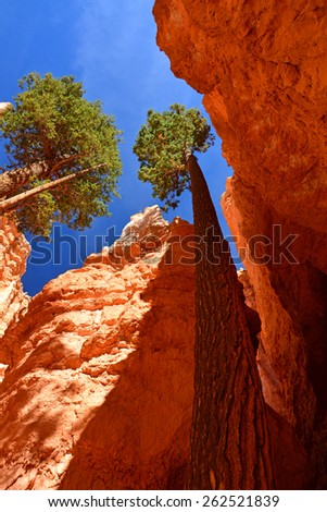 douglas fir trees in the  wall street slot canyon on the navajo loop trail in bryce canyon national park, utah