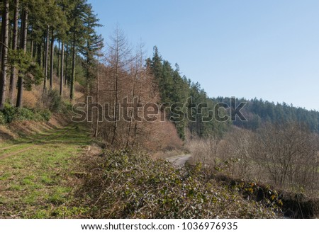 Douglas Fir Trees (Pseudotsuga menziesii) in a Rural Woodland Landscape in Rural Devon, England, UK
