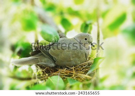 dove, bird in the family nest, home - stock photo