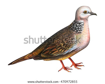 Dove drawing (Spotted dove)