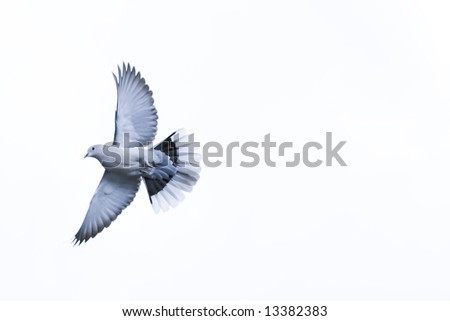 Dove in a white isolated - stock photo