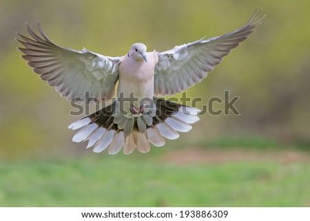 Dove in Flight - stock photo