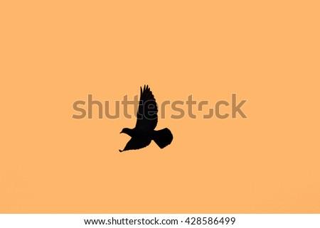 Dove in Flight at sunset  - stock photo
