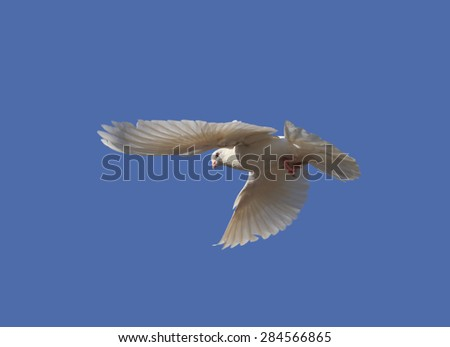 Dove in the air with wings - stock photo