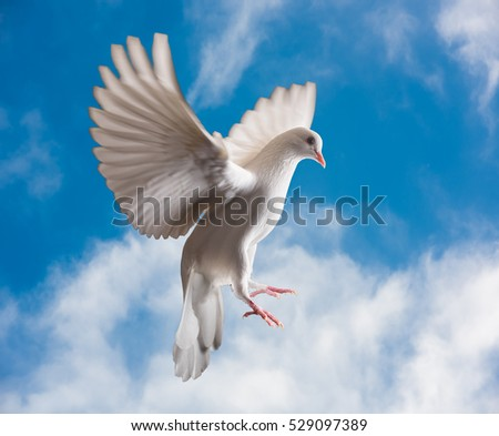 Dove in the air with wings wide open in-front of the sun. Bird of peace. Pigeon mail.