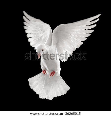 dove looking down while flying, isolated on black background - stock photo