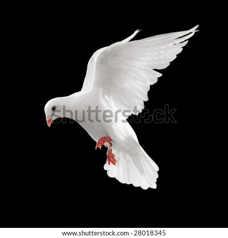 dove looks down while flying, isolated on black (web use)