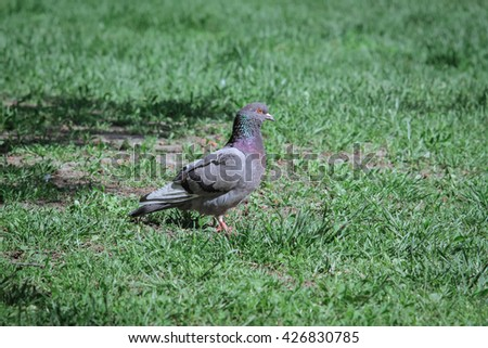 Dove on the green grass