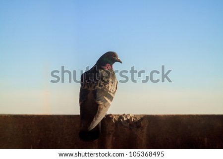 Dove sits on a background of houses - stock photo