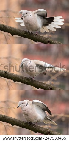 Dove (streptopelia decaocto) on the branch stretching to three different positions - stock photo