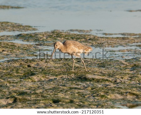 Dowitcher shorebird feeding in the Everglades mudflats  - stock photo