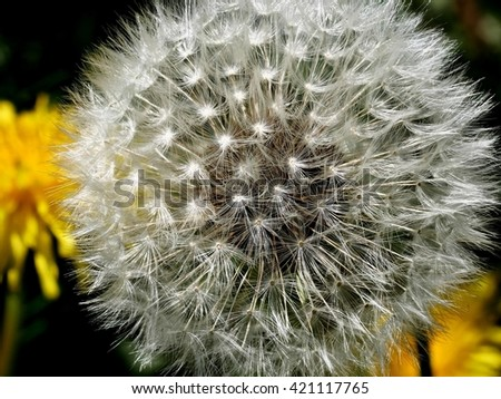 down dandelion on stem with seeds on plants background - stock photo