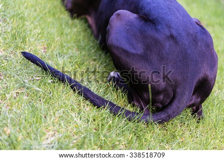 Down! Outside dog training with black greyhound in green grass.  Back of beautiful sighthound waiting for command on the ground, perfect for pet animal blog and website - stock photo