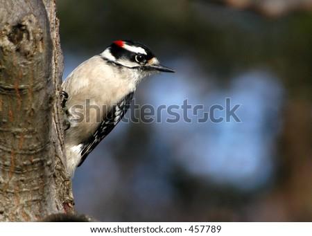 Downey Woodpecker I - stock photo