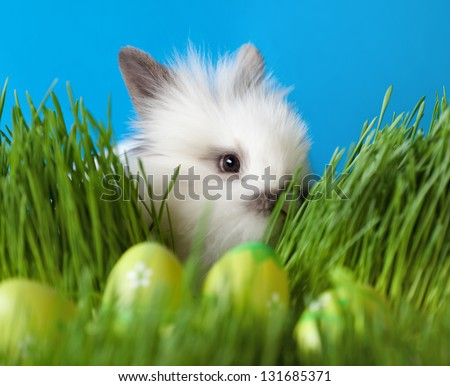 Downy white rabbit is in the thick green grass near the Easter eggs, isolated on blue