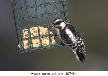 Downy woodpecker at suet basket - stock photo