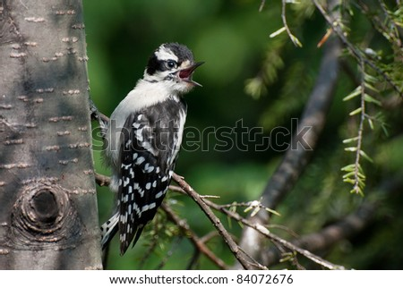 Downy Woodpecker Fledgling - stock photo